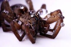 Bolle dell'acqua su un ragno del Brown Fotografie Stock
