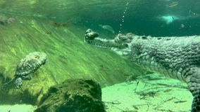bolle di aria che vengono comunque occhio dell'indiano maschio Gharial dentro acqua video d archivio