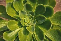 Bollen för snö för Echeveria elegans är den mexicanska, mexicansk ädelsten, den vita mexikanrosen art av blomningväxten i Crassul Arkivbild