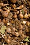 Bollen van tulp Stock Afbeeldingen