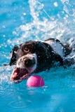 bollhundpöl som hämtar färgstänk royaltyfria foton