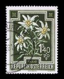 Bollo stampato dall'Austria, alpinum del Leontopodium dell'edelweiss di manifestazioni Fotografie Stock