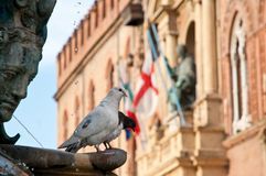 Bologna, pigeon on the Fountain of Neptune Royalty Free Stock Photography