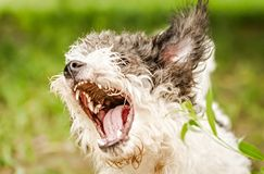 Bolognese dog barking with opened mouth in the grass. Bolognese dog with opened mouth outside in the park barking royalty free stock images