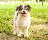 Bolognese dog outside in the green park in summer day. Cute bolognese dog outside in the green park in summer day stock photo