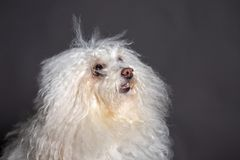 Bolognese dog portrait in grey blackground. Loking left royalty free stock images