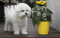 Bolognese dog and sunflower. Small white bolognese dog is standing next to sunflower stock photo
