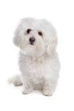 Bolognese hond stock foto