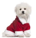 Bolognese puppy in de uitrusting van de Kerstman Royalty-vrije Stock Afbeeldingen