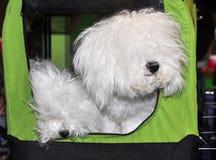 Bologneses honden in zak Stock Fotografie