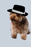 Bolonka with black hat Royalty Free Stock Photo