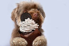 Bolonka with cupcake. Happy birthday. Portrait of a cute young bolonka zwetna dog with cupcake in his paws royalty free stock images