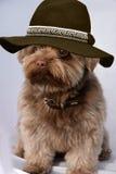 Bolonka with felt hat Stock Image
