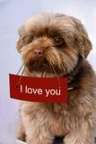 Bolonka in love. Little bolonka zwetna dog falling in love Stock Photography
