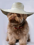 Bolonka with straw hat Royalty Free Stock Photography