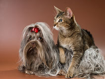 Bolonka Zwetna and cat  in studio Royalty Free Stock Photo