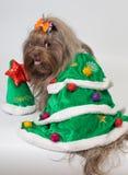 Bolonka ZWETNA in de kleding van een Nieuwjaar stock fotografie