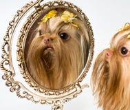 Bolonka Zwetna en een spiegel royalty-vrije stock fotografie