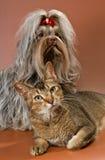 Bolonka Zwetna en kat in studio stock foto's