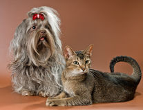 Bolonka Zwetna en kat in studio stock afbeelding