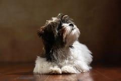 Bolonka Zwetna hund Arkivbild