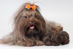 Bolonka Zwetna met een puppy in studio royalty-vrije stock afbeelding