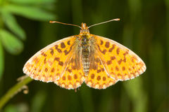 boloria蝴蝶d贝母s织工 免版税库存图片