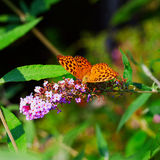 Boloria Bellona Royalty Free Stock Images