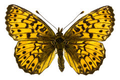 Boloria (Clossiana) titania (Titania's Fritillary) Stock Photos