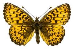 Boloria (Clossiana) titania (Titania's Fritillary). Dorsal view of Boloria (Clossiana) titania (Titania's Fritillary) butterfly isolated on white background stock photos