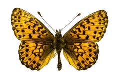 Boloria (Clossiana) titania (Titania's Fritillary). Dorsal view of Boloria (Clossiana) titania (Titania's Fritillary) butterfly isolated on white background stock image