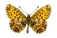 Boloria (Clossiana) titania (Titania's Fritillary). Ventral view of Boloria (Clossiana) titania (Titania's Fritillary) butterfly isolated on white background royalty free stock image