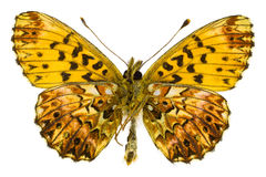 Boloria (Clossiana) titania (Titania's Fritillary). Ventral view of Boloria (Clossiana) titania (Titania's Fritillary) butterfly isolated on white background stock photos