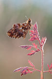 Boloria dia butterfly in nature Royalty Free Stock Photography