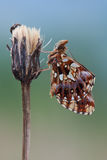 Boloria dia butterfly in nature Royalty Free Stock Image