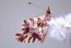 Boloria dia Stock Photography