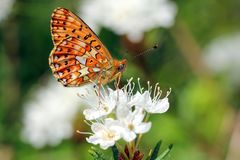 Boloria euphrosyne, Pearl-Bordered Fritillary Stock Images