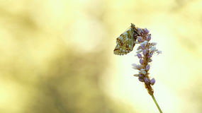 Boloria napaea Royalty Free Stock Photography