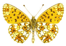 Boloria selene. The Small Pearl-bordered Fritillary (Boloria selene) isolated on a white background royalty free stock images