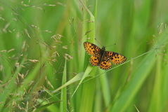 Boloria selene butterfly on green background Royalty Free Stock Images