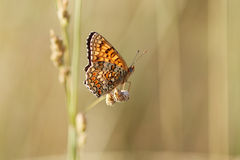 Boloria selene on yellow dry grass royalty free stock photo
