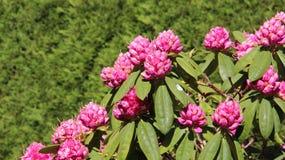 Bolos e rododendro cor-de-rosa da flor Fotos de Stock