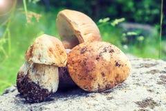 Bolos selvagens da moeda de um centavo (cogumelos do boleto) na floresta Fotografia de Stock Royalty Free