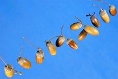 A bolota é o fruto do carvalho poderoso contra o céu azul, a família de faia fotografia de stock