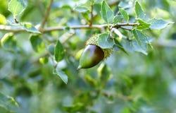 Bolota em um ramo do carvalho no parque natural de Collserola Fotografia de Stock Royalty Free