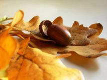 Bolota no folhas oaken Fotografia de Stock Royalty Free