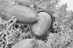 bolota Sementes do marrom do carvalho Encontro em um musgo verde da floresta Uma boa foto para povos com ideias criativas Imagem  imagem de stock royalty free