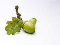 Bolotas de uma árvore de carvalho Fotografia de Stock Royalty Free