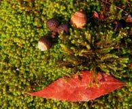 Bolotas e folha da queda ajustada no musgo Imagem de Stock Royalty Free