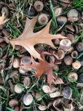 Bolotas e folhas da árvore de Palustres do Quercus na terra após o por do sol na queda Imagens de Stock